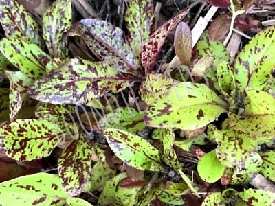 LETTUCE 'Freckles' 200 ORGANIC seeds UNUSUAL HEIRLOOM speckled vegetable garden