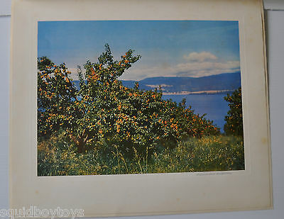 PEACH TREE vintage PRINT/PHOTO 1953 from BC Tree Fruits CANADA British Columbia