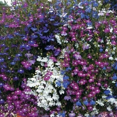 Lobelia Cascade Mix - Appx 7,000 seeds - Basket type