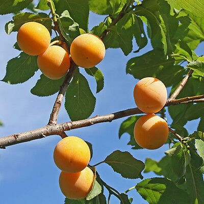 Oullins Golden Gage Plum Patio Fruit Tree in a 5L Pot 1.2m Tall