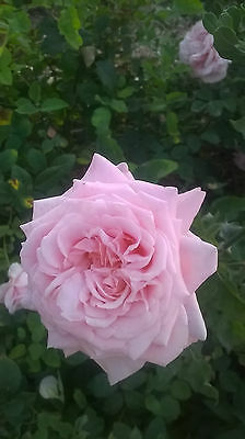 Belinda's Dream  Fragrant  beautiful pink rose,5+ cuttings, Eath Kind, easy