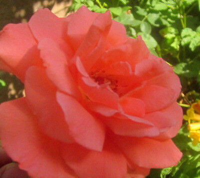 Climbing America rose, 5+ cuttings,  fragrant  salmon Gorgeous color!