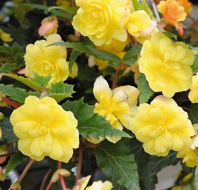 Begonia F1 Illumination Lemon - Hanging Basket type - 20 seeds - Annual