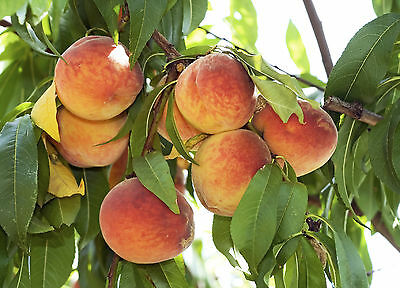 Nectarine 'Fantasia' 4-5ft Self-fertile,Frost Resistant With Large Fruit