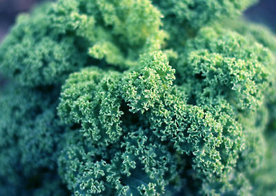 56g Dwarf Blue Curled Kale Seeds ~16,000 Ct Healthy Superfood Winter Veggie USA