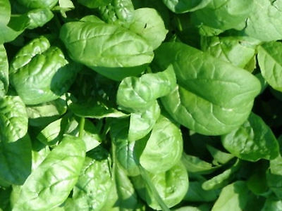 4.7g Giant Winter Spinach Seed ~ 400 Seeds ~ Nutritious Greens ~ Cold Hardy USA
