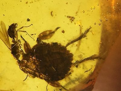 YL0377 Unusual Planthopper Nymph with a wasp in Fossil Burmite Amber