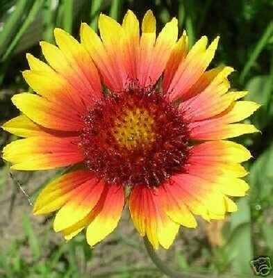 30+ Torchlight Gaillardia  Aristata / Perennial Flower Seeds