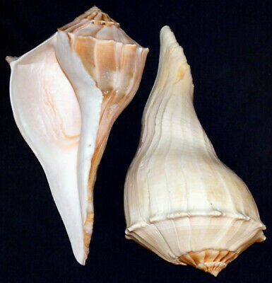 """Large Left Handed Whelk Seashells ~ Busycon sinistrum ~ From 6"""" - 11"""""""
