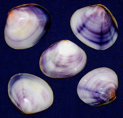 "Polished Purple/Violet Clam Pr.,Cockle, Scallop,Pecten Shells~2""~(5/10/20/ Pcs."