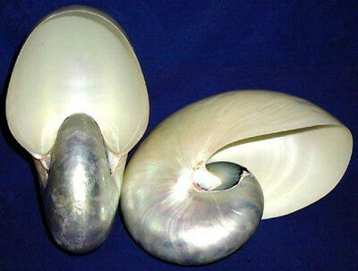 Pearled Chambered Nautilus pompileus Seashells ~ Select From (4) Sizes