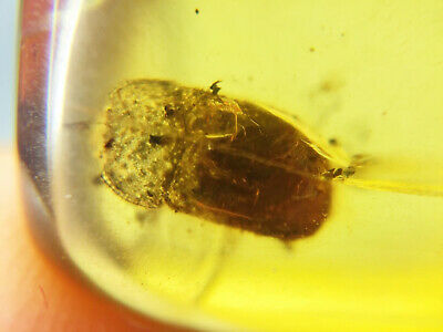 YL0219 Unknown Beetle in Fossil Burmite Amber