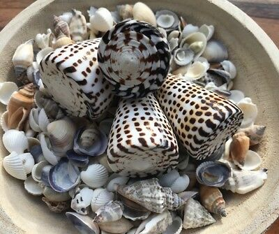 Set of 4 Natural Cone/Litteratus/Shells Bulk/wedding/decoration/craft/pack