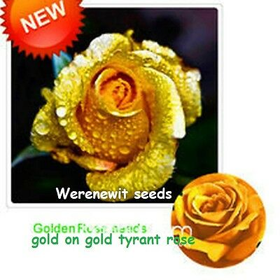 20 x NEW RARE EXOTIC GOLDEN FLESH,GOLD ON GOLD TYRANT ROSE SEEDS,FREE POST