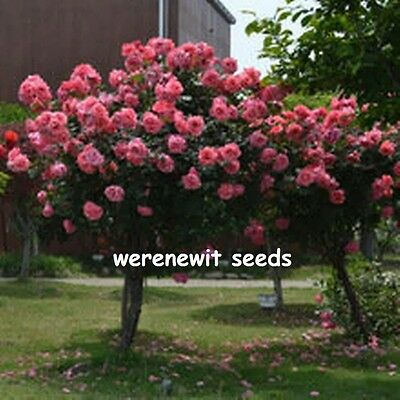 20 x PINK POLYANTHA (STANDARD) ROSE TREE SEEDS AUSSIE SELLER