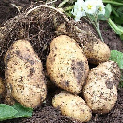 Duke of York Seed Potatoes - Certified Irish Seed (Class SE) First Early