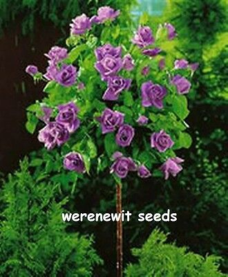 20 x RARE PURPLE POLYANTHA (STANDARD) ROSE TREE SEEDS AUSSIE SELLER