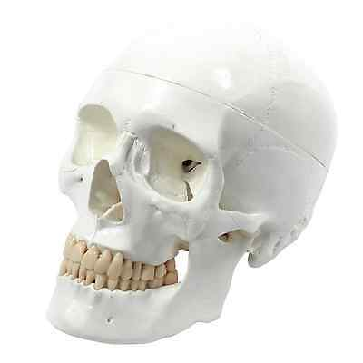 High Quality Human Skull, Life-size, 3 Parts Perfect for Anatomical Learning NEW