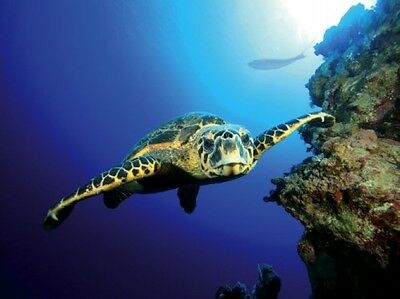 Tetra Turtle/ Coral Background Poster