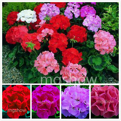 100Pcs MIXed Color Geranium Seeds Pelargonium Flower Plant Home Garden Decor New