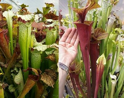 69) Pack of Sarracenia seeds, carnivorous plants
