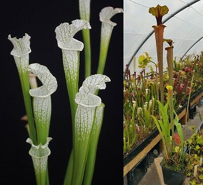 94) Pack of Sarracenia seeds, carnivorous plants