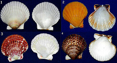Clam,Scallop,Cockle Craft Supply Shells~White,Orange,Red,Black~25 Pcs.