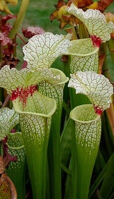46) Pack of Sarracenia seeds, carnivorous plants