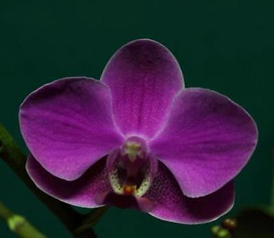 Phalaenopsis Queen Bear Orchid