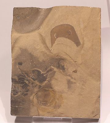 Nice E. Remipes Eurypterid Fossil Plate: Lang's Quarry Ny- Silurian Sea Scorpion