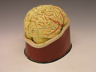 ~ Early 1900s HUMAN BRAIN, Anatomical Model, Hand-Painted & Sectioned, Xmas ~
