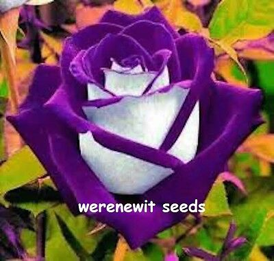 PURPLE OSIRIA ROSE SEEDS x 20 + AUSSIE SELLER