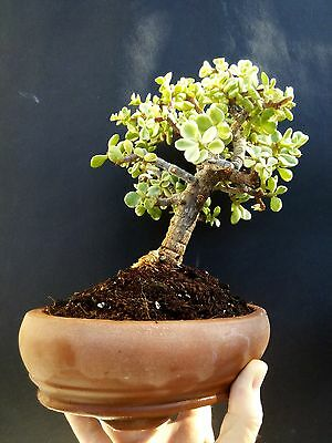 Bonsai Portulacaria afra 'variegata' - from Private collection