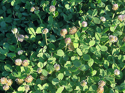Palestine Strawberry Clover Coated Seed Lawn Ground Cover Bee Attract drought