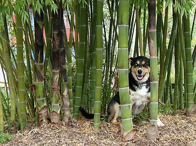 50 or 100 Moso Bamboo Hardy & Rare Seeds -4 Giant Plants Phyllostachys Edulis