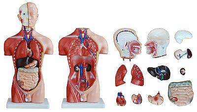 Male Torso 42cm Tall with 13 Parts - Anatomical Model
