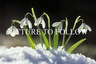 Galanthus Collection - A Collector's Snowdrop