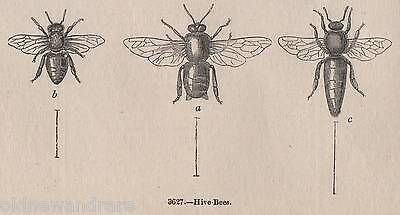 Genuine C1845 Print Bee Keeping Skep Hive Honey Apiary Queen Swarm Nest Bumble Q