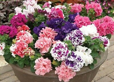 Petunia Double F1 Pirouette Mix - 500 Pelleted seeds - Annual