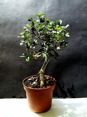 Chinese Elm Bonsai - 8 year old plant - for Professionals