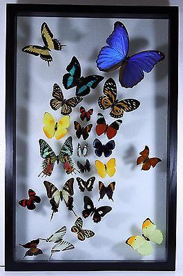 "24 Real butterflies, mounted in wood frame 15.5"" x 24.5"" inches."