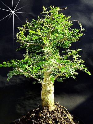"""OPERCULICARYA DECARYI - """"natural"""" and designed bonsai - from  Private collection"""