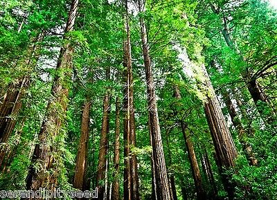 Sequoia sempervirens California Redwood Seeds West Coast Conifer for All Climate