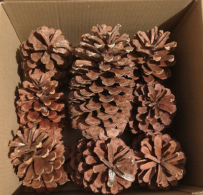 """9 PINE CONES Natural Large 6 1/2"""" - 7"""" High ~ 4"""" - 4 1/2"""" wide across ~ Crafts"""