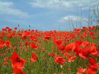 Wildflower Seeds - Common Field Poppy - 1g to 50g pack sizes  bulk seeds