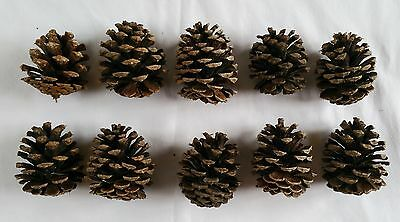 Lot of 10 Small 3 inch Pine cones for decoration crafts etc