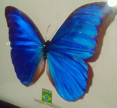"Framed ""Real"" Insect Butterfly Blue & Green Morpho Anaxibia from Brazil"
