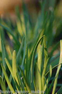 Garlic Chives, BULK 100 seeds, Perennial, Companion Vegetable LAST TWO