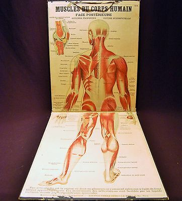 Antique Emile Deyrolle 19th Century Anatomical Lithograph Poster on Board Rare
