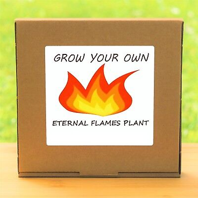 Grow Your Own Eternal Flames Flower Plant Kit - Birthday Gardening Gift